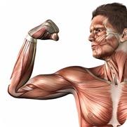 筋肉イラスト